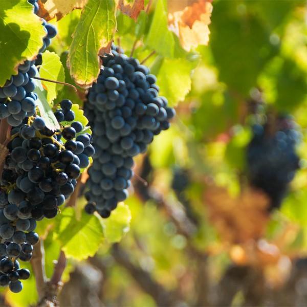 Vins de Bandol - Vins et vignobles